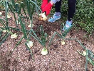 玉ねぎの収穫をしました!!_f0079749_19405171.jpg