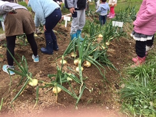 玉ねぎの収穫をしました!!_f0079749_19440598.jpg
