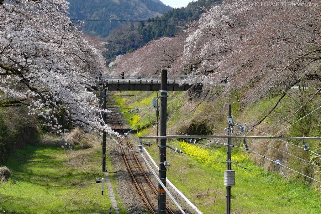 静かな桜_d0100156_12305714.jpg