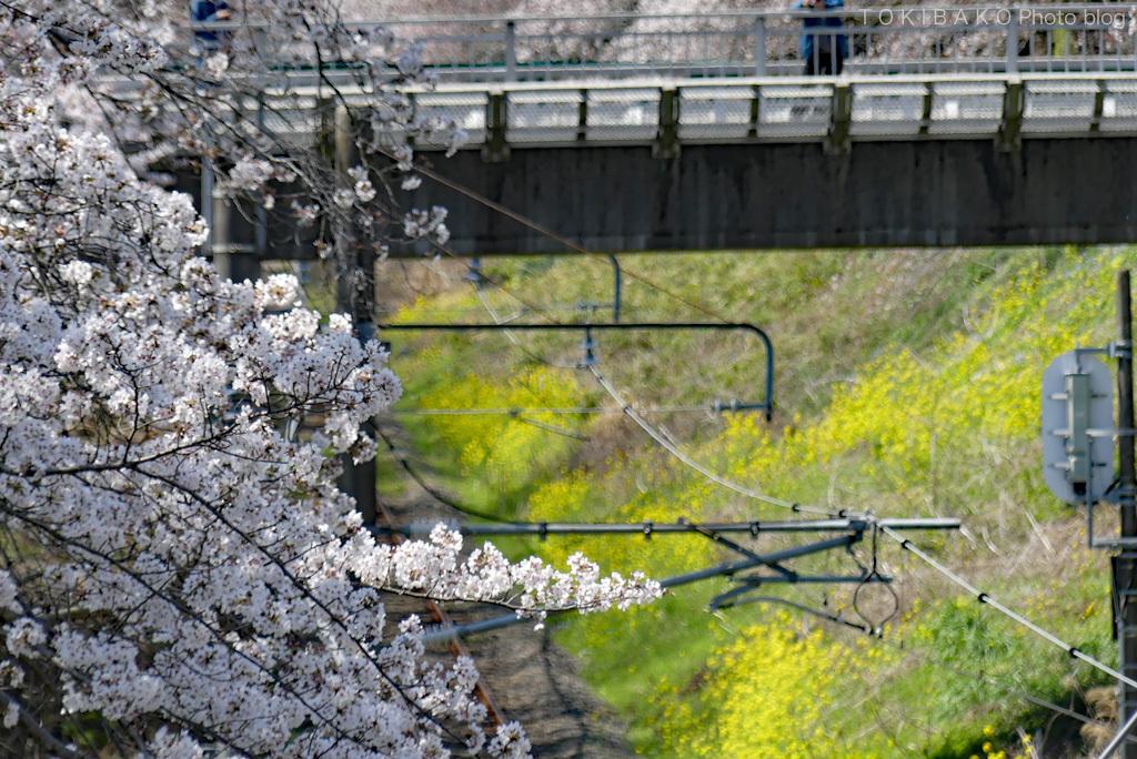 静かな桜_d0100156_12310986.jpg