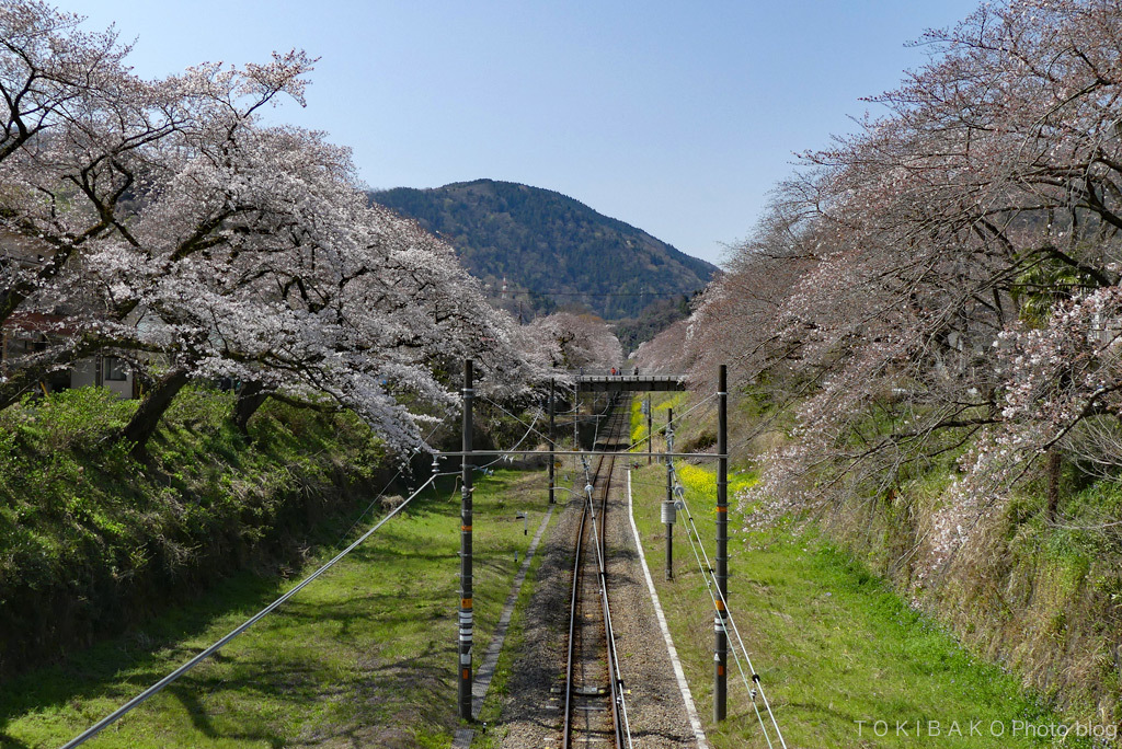 静かな桜_d0100156_12312389.jpg