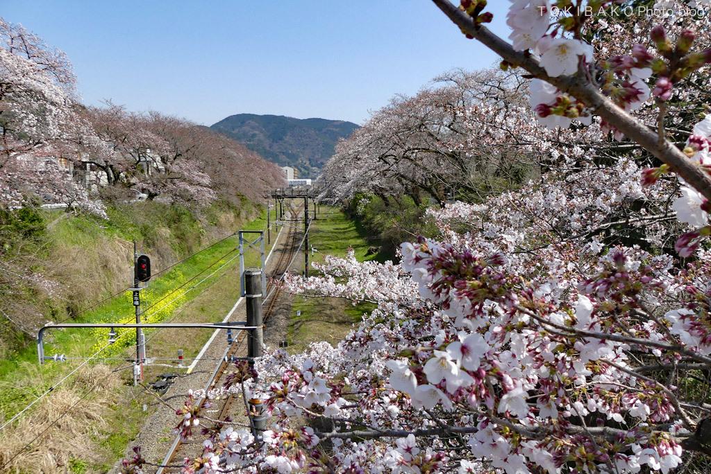 静かな桜_d0100156_12313675.jpg