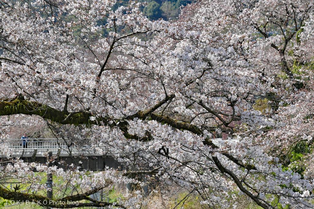静かな桜_d0100156_12314985.jpg