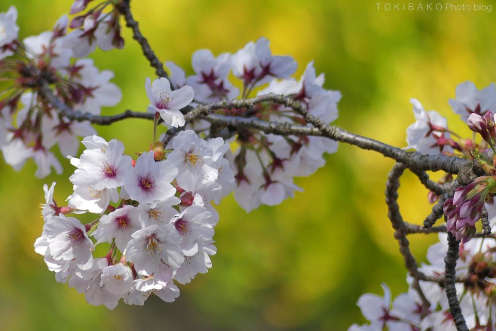 静かな桜_d0100156_12320772.jpg