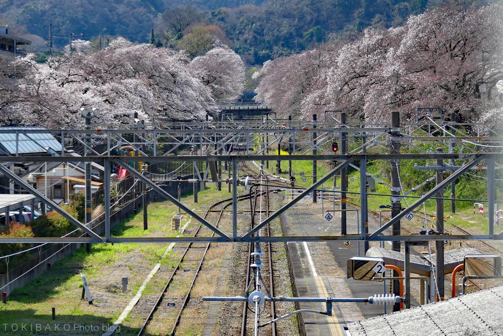 静かな桜_d0100156_12323884.jpg