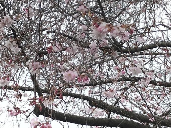 しだれ桜_f0303858_11394639.jpeg