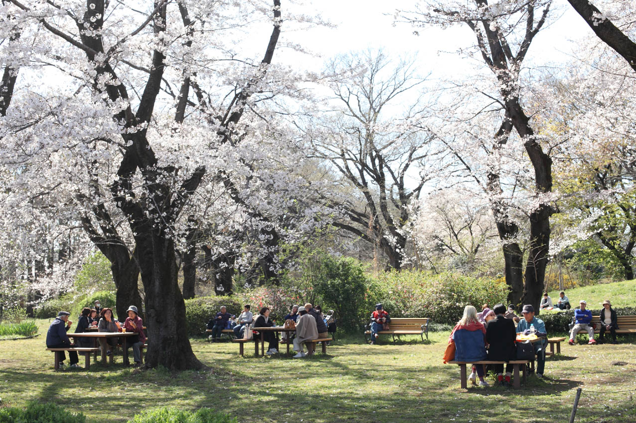 満開の桜_c0299360_18515430.jpg