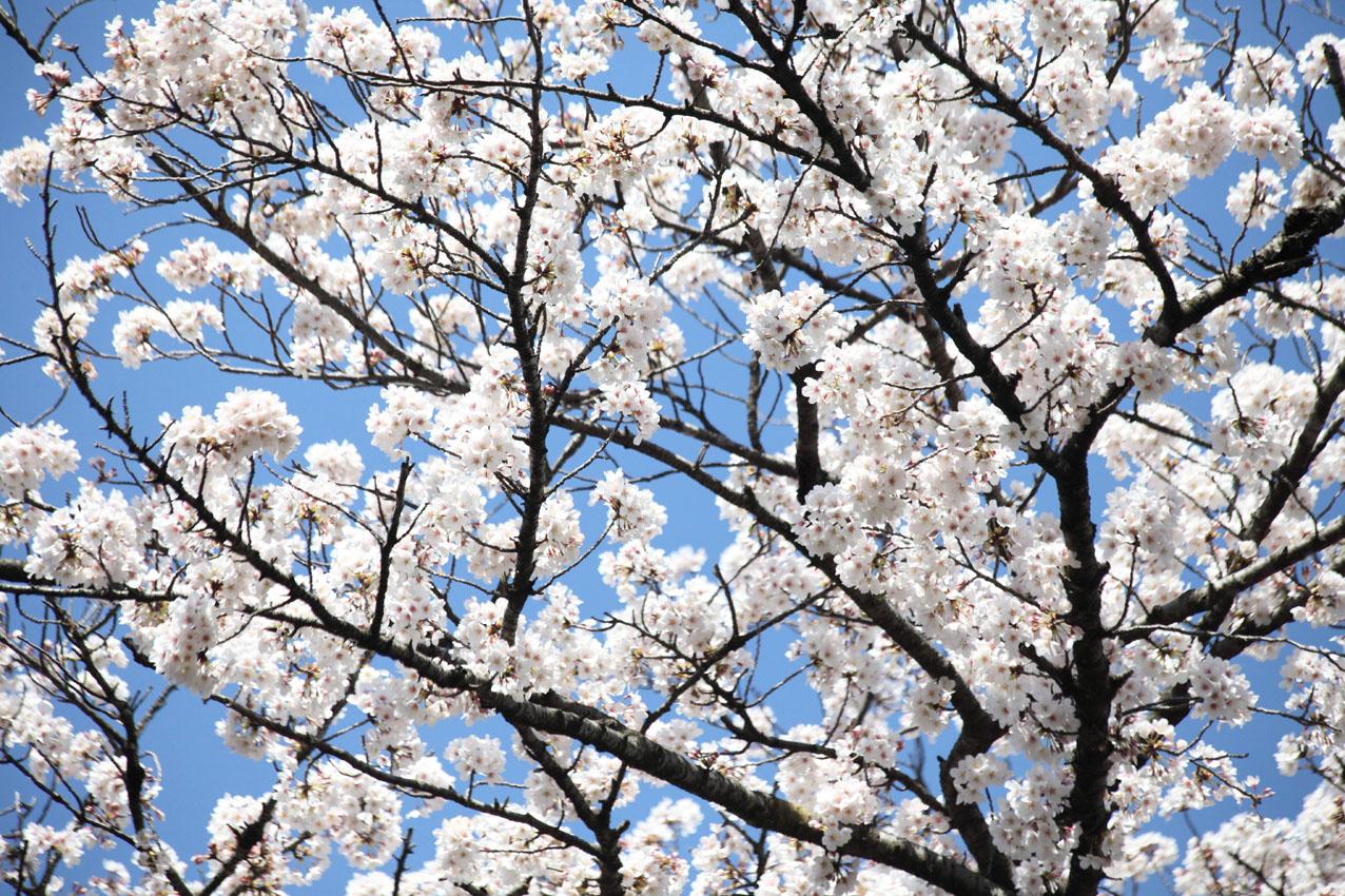桜は咲く_c0299360_2032976.jpg
