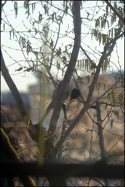 桜が終わる頃にシデの芽が房となっていきます_a0031363_22412724.jpg