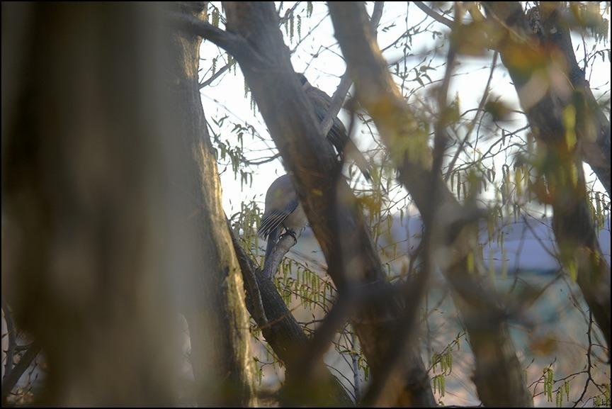 桜が終わる頃にシデの芽が房となっていきます_a0031363_22420155.jpg