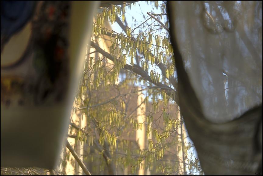 桜が終わる頃にシデの芽が房となっていきます_a0031363_22421220.jpg