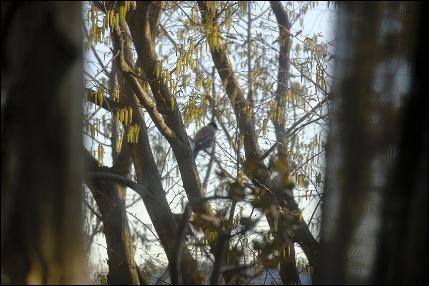 桜が終わる頃にシデの芽が房となっていきます_a0031363_22421760.jpg