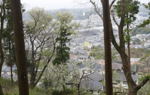 揃って葉桜、展望台周辺は7~8分咲き3・28六国見山夫婦桜now_c0014967_17364999.jpg