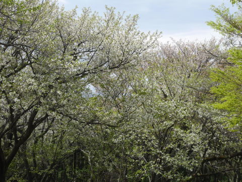 揃って葉桜、展望台周辺は7~8分咲き3・28六国見山夫婦桜now_c0014967_17381121.jpg