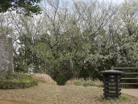 揃って葉桜、展望台周辺は7~8分咲き3・28六国見山夫婦桜now_c0014967_17382427.jpg