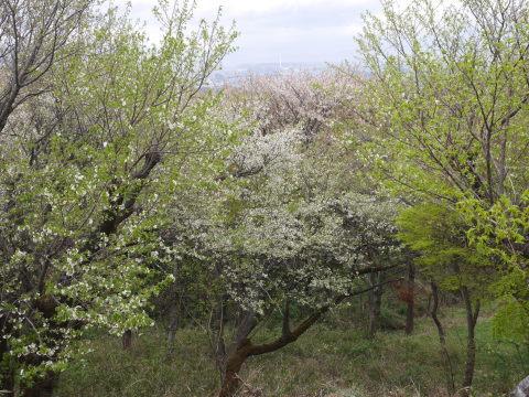 揃って葉桜、展望台周辺は7~8分咲き3・28六国見山夫婦桜now_c0014967_17384086.jpg