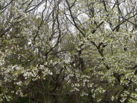 揃って葉桜、展望台周辺は7~8分咲き3・28六国見山夫婦桜now_c0014967_17385560.jpg