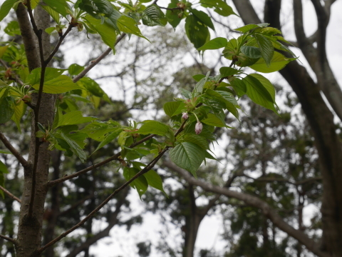揃って葉桜、展望台周辺は7~8分咲き3・28六国見山夫婦桜now_c0014967_17401184.jpg