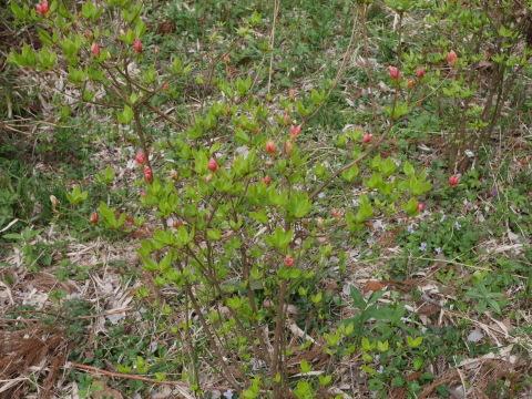 揃って葉桜、展望台周辺は7~8分咲き3・28六国見山夫婦桜now_c0014967_17411014.jpg