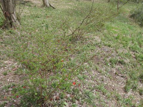 揃って葉桜、展望台周辺は7~8分咲き3・28六国見山夫婦桜now_c0014967_17412517.jpg