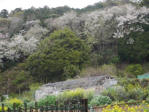 揃って葉桜、展望台周辺は7~8分咲き3・28六国見山夫婦桜now_c0014967_17415023.jpg