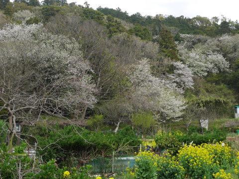 揃って葉桜、展望台周辺は7~8分咲き3・28六国見山夫婦桜now_c0014967_17420262.jpg