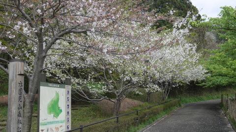 揃って葉桜、展望台周辺は7~8分咲き3・28六国見山夫婦桜now_c0014967_17424384.jpg