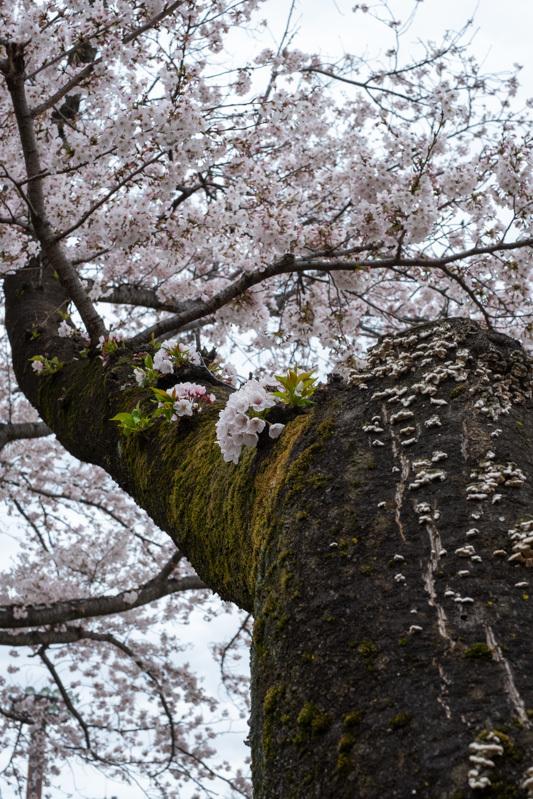桜 満開_a0261169_14455734.jpg