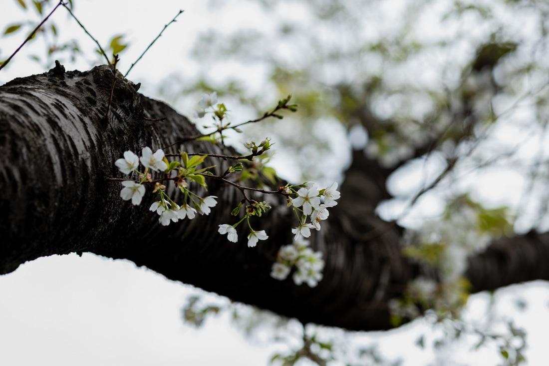 桜 満開_a0261169_14463161.jpg