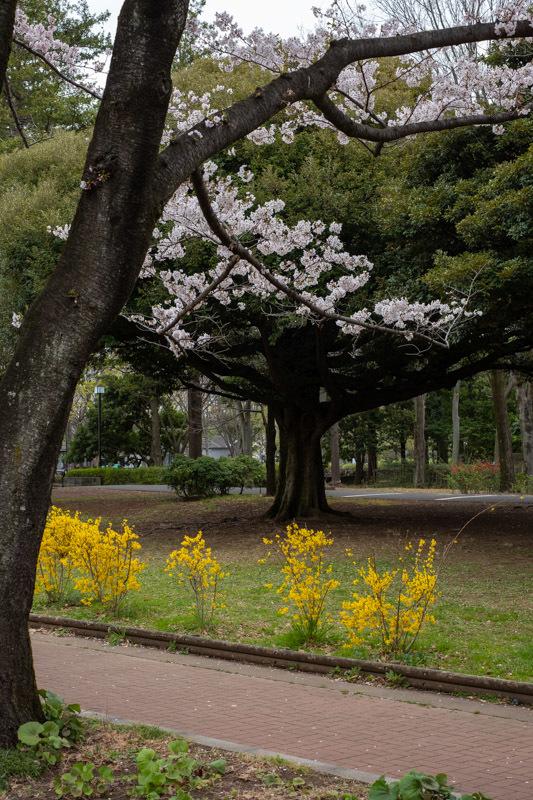 桜 満開_a0261169_14465856.jpg