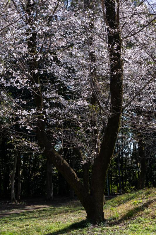 桜 満開_a0261169_14524930.jpg