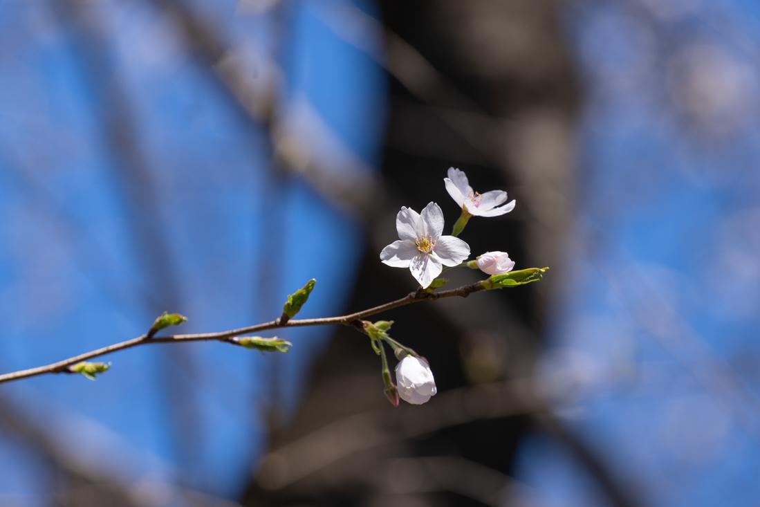 桜 満開_a0261169_14534517.jpg