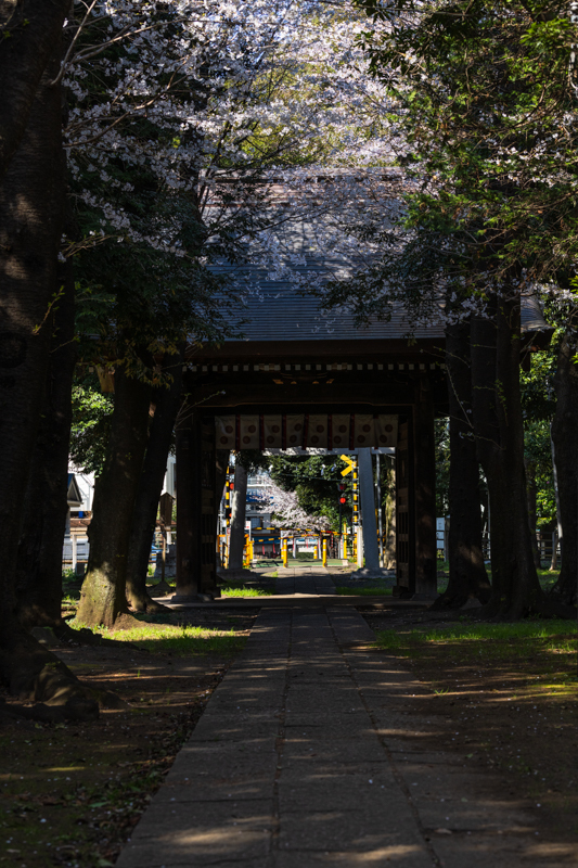 桜 満開_a0261169_14544815.jpg