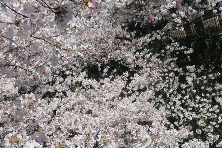 桜_e0292172_08260286.jpeg