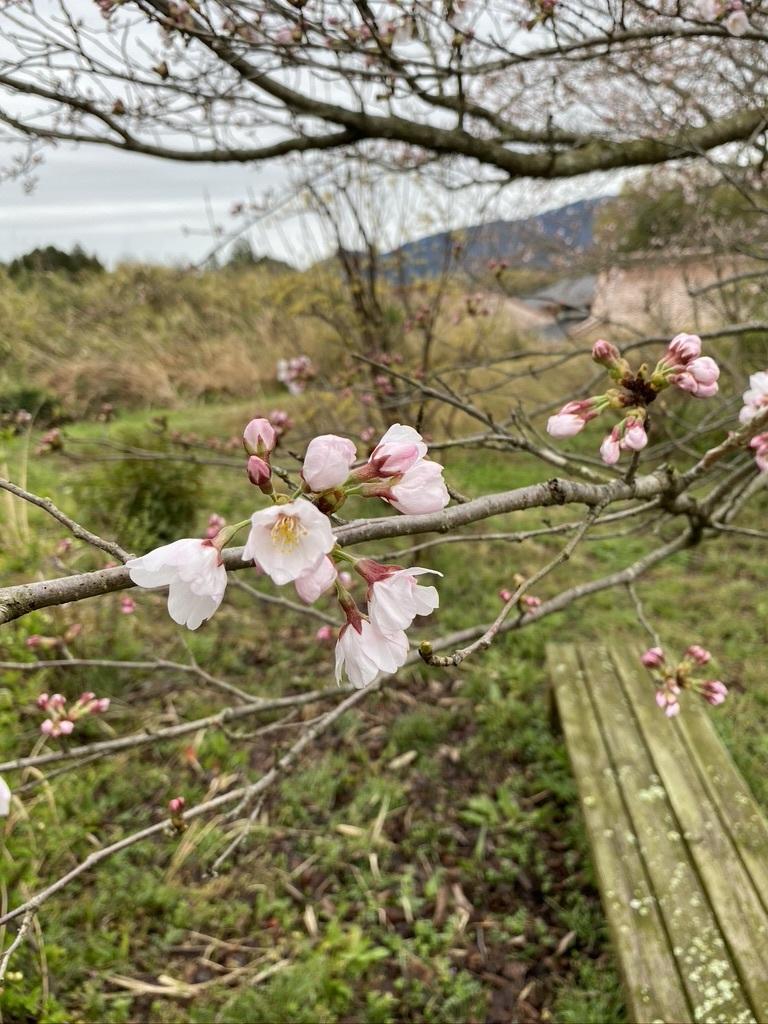 裏山の桜だより② 〜2020〜_c0334574_19030949.jpeg
