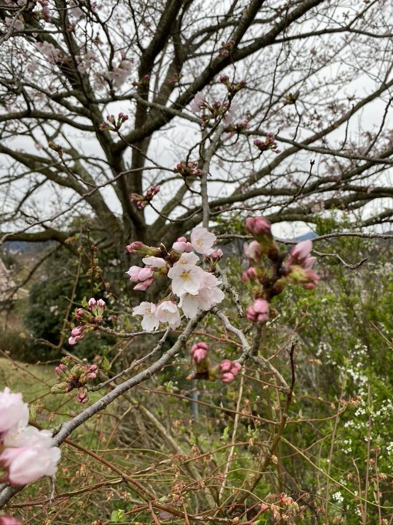 裏山の桜だより② 〜2020〜_c0334574_19031493.jpeg