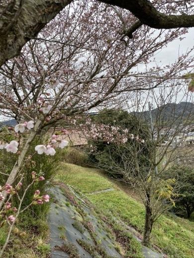 裏山の桜だより② 〜2020〜_c0334574_19032656.jpeg