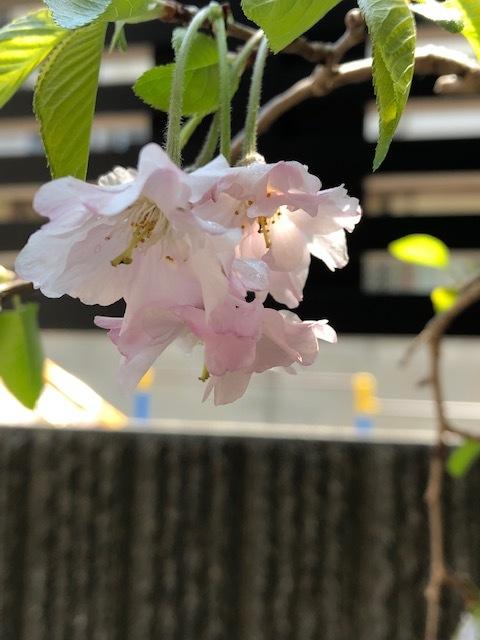 お家でお花見弁当_c0216579_13024472.jpeg
