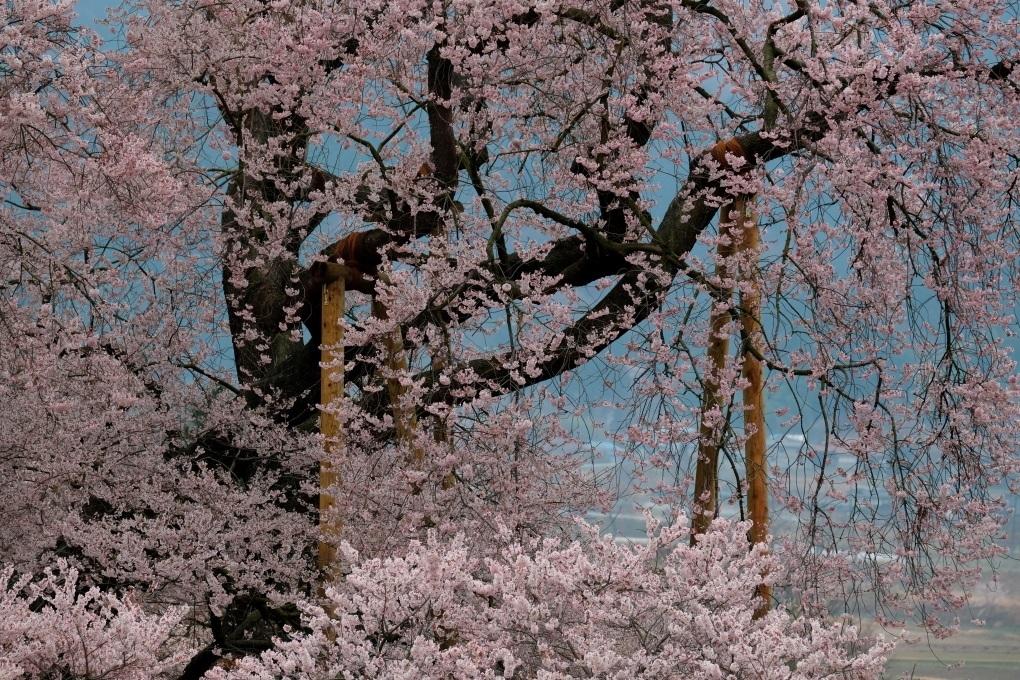 矢祭町「戸津辺の桜」&水郡線 <1> 2020・03・28_e0143883_11251934.jpg