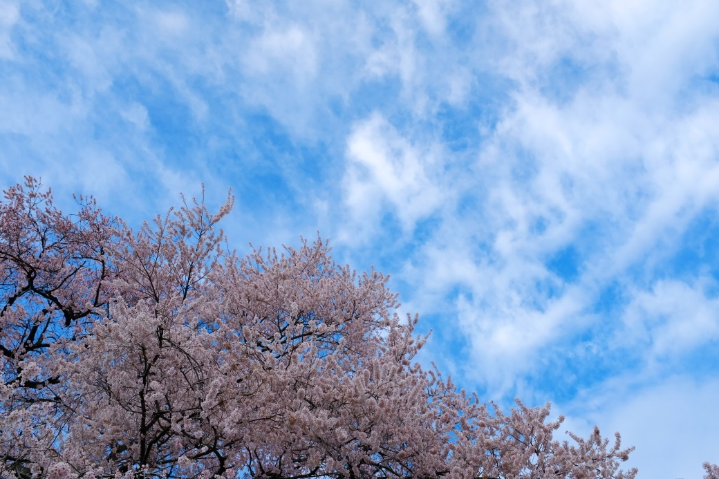 矢祭町「戸津辺の桜」&水郡線 <1> 2020・03・28_e0143883_11255848.jpg