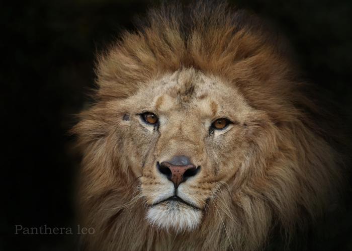 ライオン:Lion_b0249597_05301658.jpg
