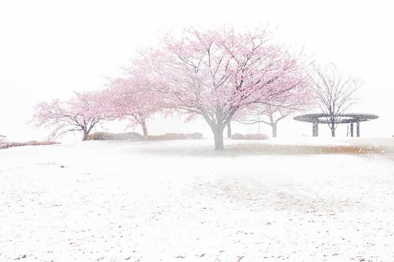 満開の桜に名残の雪_a0058105_15230727.jpg