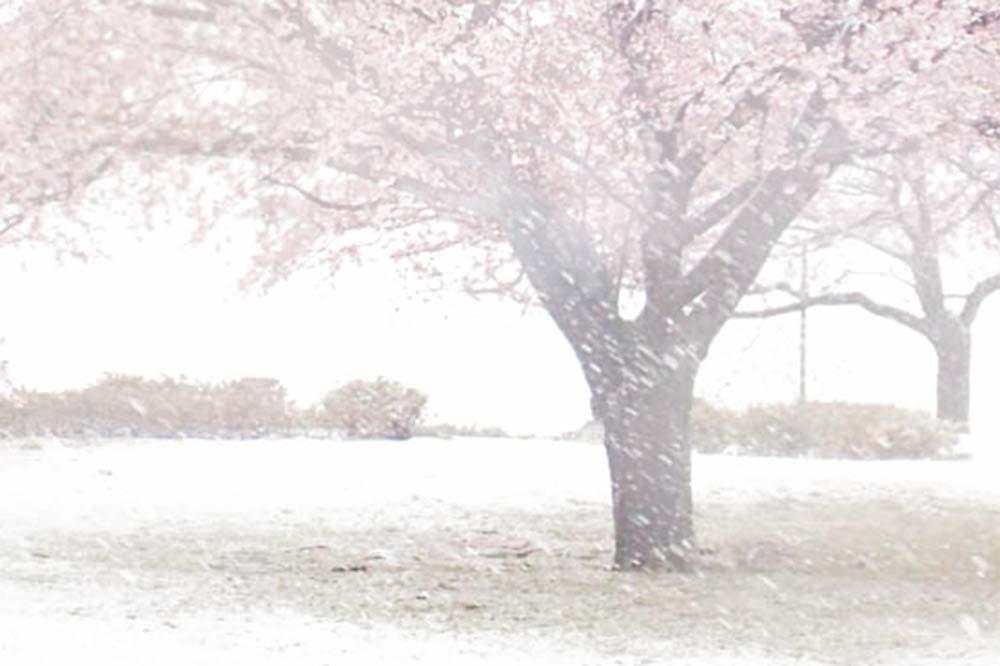 満開の桜に名残の雪_a0058105_15231710.jpg