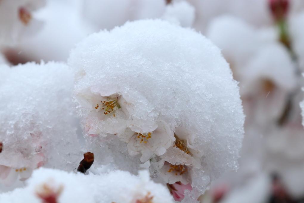 長瀞から上長瀞へ続く桜並木 - 2019年・秩父鉄道 -_b0190710_19000063.jpg