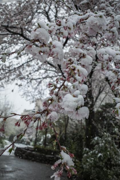 2020.03.29 春の雪_a0390712_14174182.jpg
