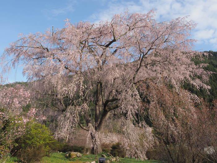 湯の山のしだれ桜(満開)と染井吉野_c0116915_23574791.jpg