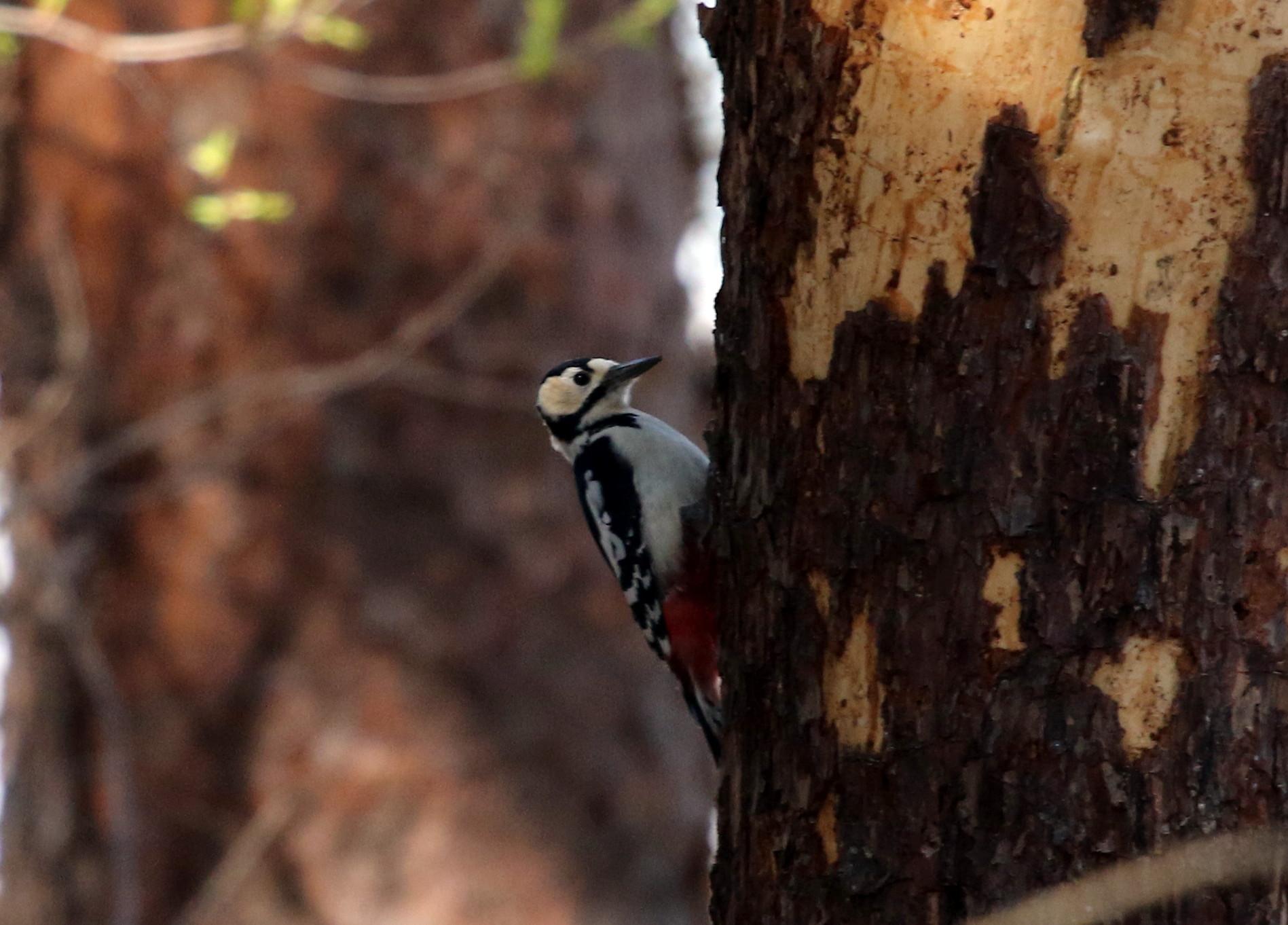 赤松林でアカゲラを撮る_f0239515_8104679.jpg
