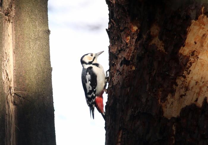 赤松林でアカゲラを撮る_f0239515_8114792.jpg