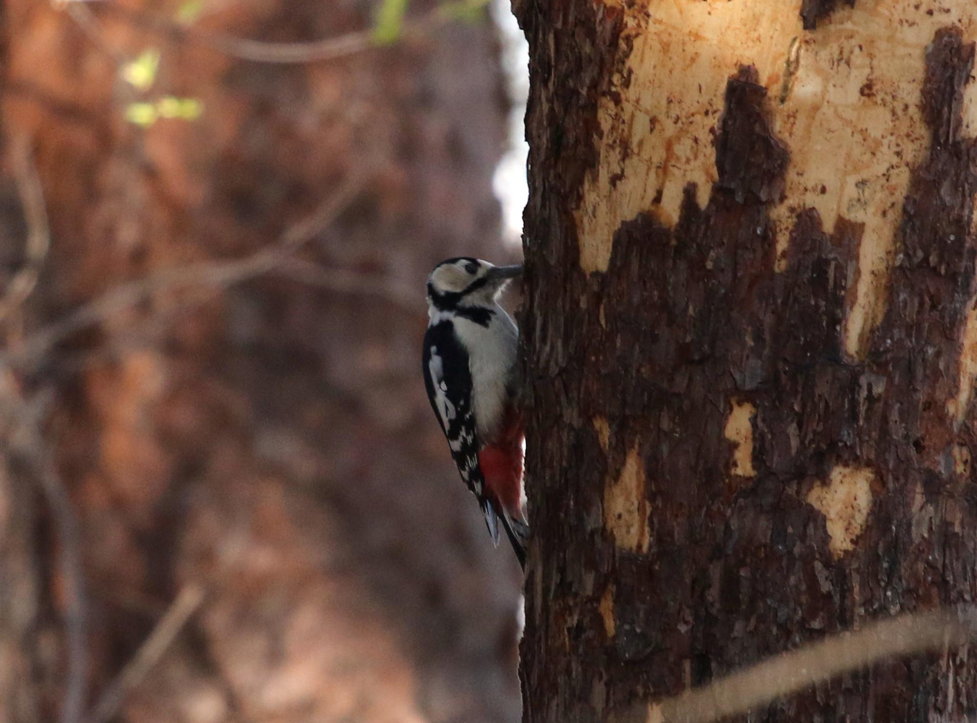 赤松林でアカゲラを撮る_f0239515_811492.jpg