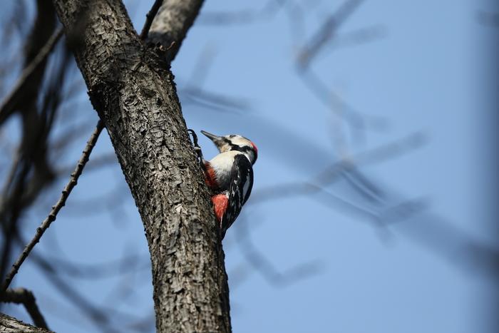 赤松林でアカゲラを撮る_f0239515_8125079.jpg